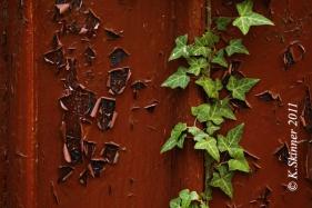 peeling-ivy
